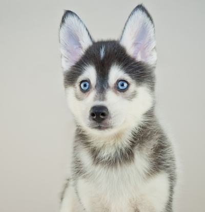 How Much Does It Cost To Buy A Pomsky Puppy Cute Pomsky