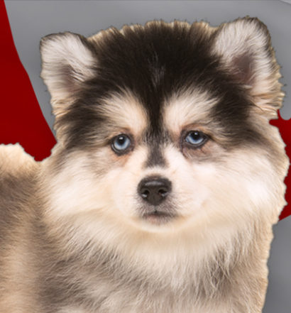 Cute Pomsky - The World's Leading Resource for the