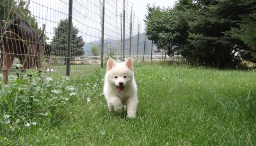 Pomsky Scams – 10 Must Know Facts Before Purchasing Your New Dog