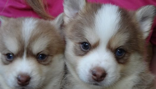 5 Things To Consider When Choosing A Pomsky Breeder