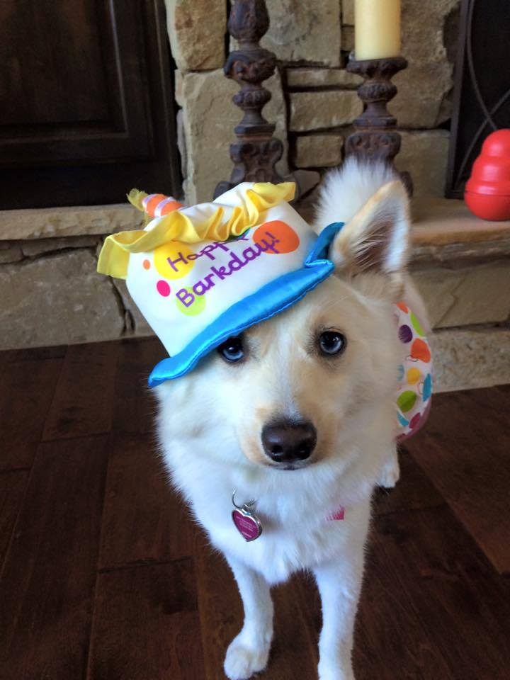 Pomsky wearing hat