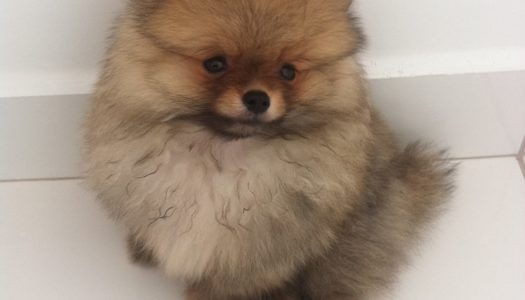 5 Ways to Train your Pomeranian