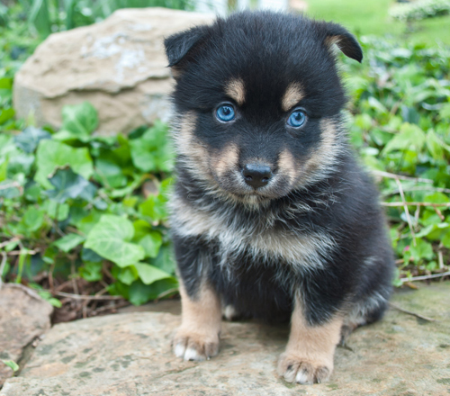 black-pompsy-puppy-blue-eyes