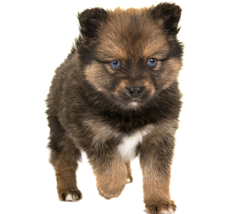 brown-black-pomsky-puppy-blue-eyes