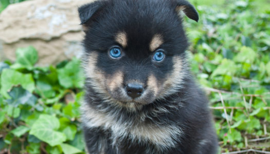 7 Things to Be Aware of When Purchasing a Pomsky